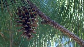 O único cone do pinho pendura do pinheiro, 4K vídeos de arquivo