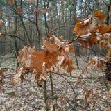 o Παλαιά, δρύινα φύλλα του περασμένου χρόνου στοκ φωτογραφία