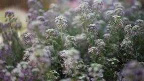 o Πλάγιο κινούμενο μήκος σε πόδηα καμερών των ιωδών λουλουδιών στην ηλιόλουστη ημέρα απόθεμα βίντεο