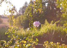 o Τριαντάφυλλα που μαραίνονται Εξασθενισμένα τριαντάφυλλα και ξηρά χλόη σε μια ξύλινη επιφάνεια Μουτζουρωμένο υπόβαθρο ταπετσαριώ στοκ φωτογραφίες