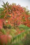o όμορφο δέντρο με τα κόκκινα φύλλα στοκ φωτογραφίες