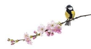 伟大的山雀在一个开花的分支,帕鲁斯o少校,被隔绝的栖息 免版税图库摄影