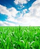 πεδίο καλαμποκιού πράσιν&o Στοκ Εικόνες
