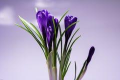 O açafrão é a primeira flor da mola Fotos de Stock