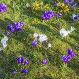O açafrão é uma das primeiras flores da mola enlata usado como o fundo Fotografia de Stock