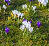O açafrão é uma das primeiras flores da mola enlata usado como o fundo Fotos de Stock Royalty Free