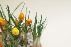 O açafrão amarelo abotoa botões das flores com fundo neutro com espaço da cópia Fotos de Stock