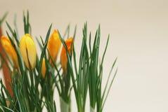 O açafrão amarelo abotoa botões das flores com fundo neutro com espaço da cópia Imagens de Stock Royalty Free