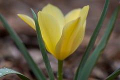 O açafrão amarelo abre Imagens de Stock Royalty Free