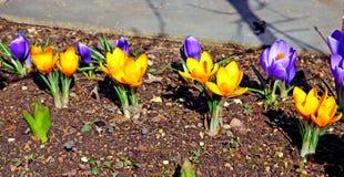O açafrão amarelo e lilás floresce no jardim Imagens de Stock Royalty Free