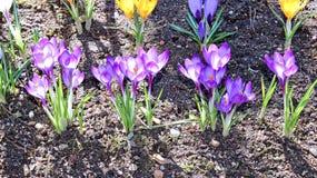 O açafrão amarelo e lilás floresce no jardim Fotos de Stock
