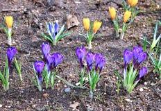 O açafrão amarelo e lilás floresce no jardim Imagem de Stock Royalty Free