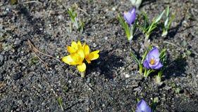 O açafrão amarelo e violeta floresce no jardim Fotografia de Stock Royalty Free