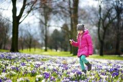 O açafrão bonito da colheita da moça floresce no prado de florescência bonito do açafrão Imagens de Stock Royalty Free