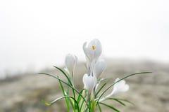 O açafrão branco Açafrões brancos na grama no jardim O dia de mola com céu claro Fotos de Stock Royalty Free