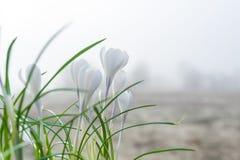 O açafrão branco Açafrões brancos na grama no jardim O dia de mola com céu claro Imagem de Stock