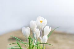 O açafrão branco Açafrões brancos na grama no jardim O dia de mola com o céu azul claro Fotos de Stock