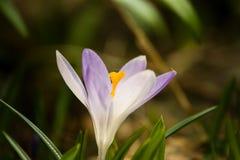 O açafrão branco bonito floresce em um fundo natural Fotografia de Stock