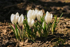 O açafrão branco bonito floresce em um fundo natural Imagens de Stock Royalty Free