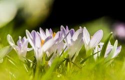 O açafrão branco bonito floresce em um fundo natural Foto de Stock