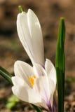 O açafrão branco bonito floresce em um fundo natural na mola Imagem de Stock