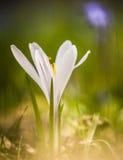 O açafrão branco bonito floresce em um fundo natural na mola Fotografia de Stock Royalty Free