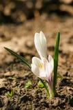 O açafrão branco bonito floresce em um fundo natural na mola Fotos de Stock Royalty Free