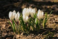 O açafrão branco bonito floresce em um fundo natural na mola Imagens de Stock Royalty Free