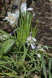 O açafrão branco da mola bonita da arte floresce no jardim Fotos de Stock