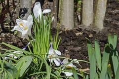 O açafrão branco da mola bonita da arte floresce no jardim, Sófia Imagem de Stock