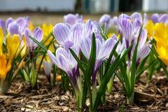 O açafrão branco e amarelo violeta floresce na mola adiantada Fotografia de Stock Royalty Free