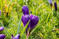 O açafrão branco e violeta do savitus do açafrão acordou na mola de w Fotografia de Stock Royalty Free
