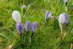O açafrão branco e violeta do savitus do açafrão acordou na mola de w Imagens de Stock