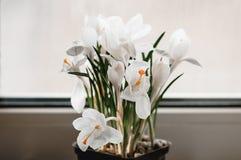 O açafrão branco floresce na flor no peitoril da janela com backgrou branco Imagem de Stock Royalty Free