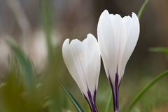 O açafrão branco floresce o close up Imagens de Stock