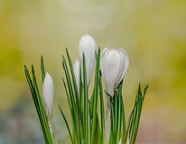 O açafrão branco floresce a planta verde, fundo amarelo do bokeh Fotografia de Stock Royalty Free