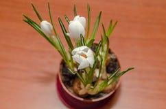 O açafrão branco floresce a planta verde, fundo de madeira Imagens de Stock Royalty Free