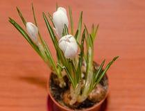 O açafrão branco floresce a planta verde, fundo de madeira Imagem de Stock