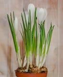 O açafrão branco floresce a planta verde, fundo de madeira Fotos de Stock