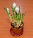 O açafrão branco floresce a planta verde, fundo de madeira Fotografia de Stock Royalty Free