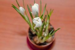 O açafrão branco floresce a planta verde, fundo de madeira Foto de Stock Royalty Free