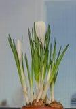 O açafrão branco floresce a planta verde, fundo do bokeh Fotografia de Stock Royalty Free