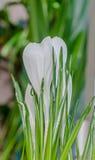 O açafrão branco floresce a planta verde, fundo do bokeh Foto de Stock Royalty Free