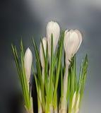 O açafrão branco floresce a planta verde, fundo escuro Fotos de Stock