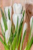 O açafrão branco floresce a planta verde, tempo de mola, fundo de madeira Imagens de Stock