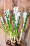 O açafrão branco floresce a planta verde, tempo de mola, fundo de madeira Fotografia de Stock Royalty Free