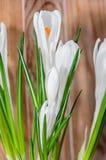 O açafrão branco floresce a planta verde, tempo de mola, fundo de madeira Fotografia de Stock