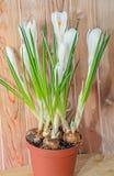 O açafrão branco floresce a planta verde, tempo de mola, fundo de madeira Foto de Stock Royalty Free