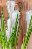 O açafrão branco floresce a planta verde, tempo de mola, fundo de madeira Foto de Stock