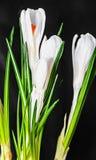 O açafrão branco floresce a planta verde, tempo de mola, fundo preto Fotografia de Stock